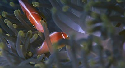 Így veszélyezteti a bohóchalak szaporodását fényszennyezés