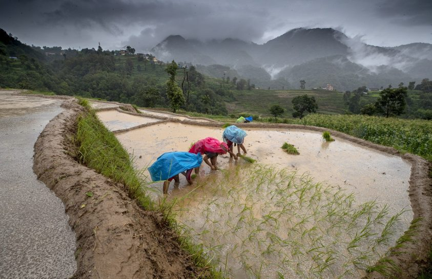 Nepáli rizsföldek munkásai