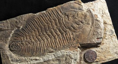 Ausztrália területén élt a trilobiták királya