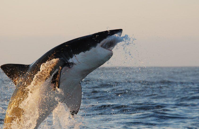 Indul a Cápafesztivál National Geographic Wild képernyőjén