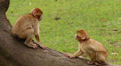 Kivételes jelenséget figyeltek meg berber makákóknál