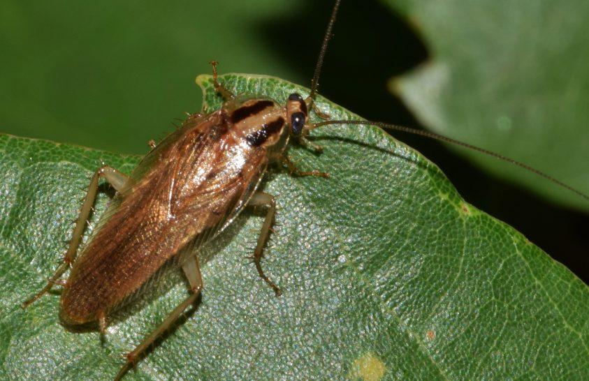 Még a rovarirtók sem állíthatják meg a csótányokat