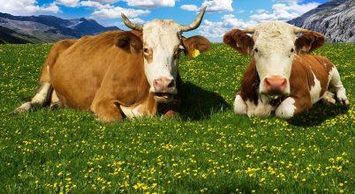 Csökkenthető a szarvasmarha metán-kibocsátása