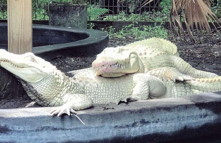 Kivételes aligátortojásokat őriznek egy floridai vadasparkban
