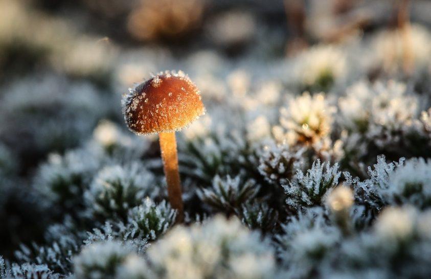 Sötétebb színűek a gombák a hidegebb éghajlaton