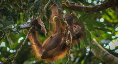 Malajziai orangutánok visszatelepítése a vadonba