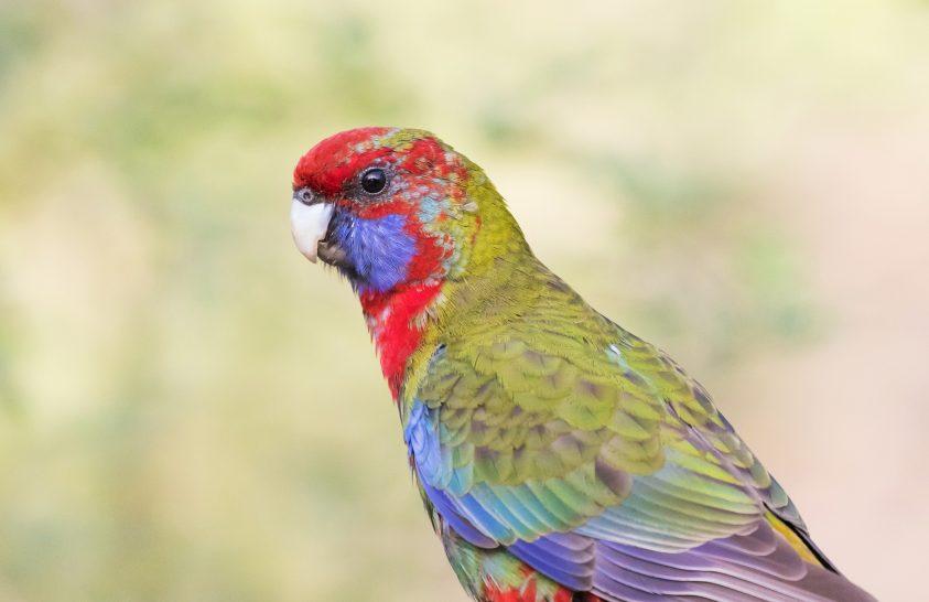Papagájok Ausztráliából