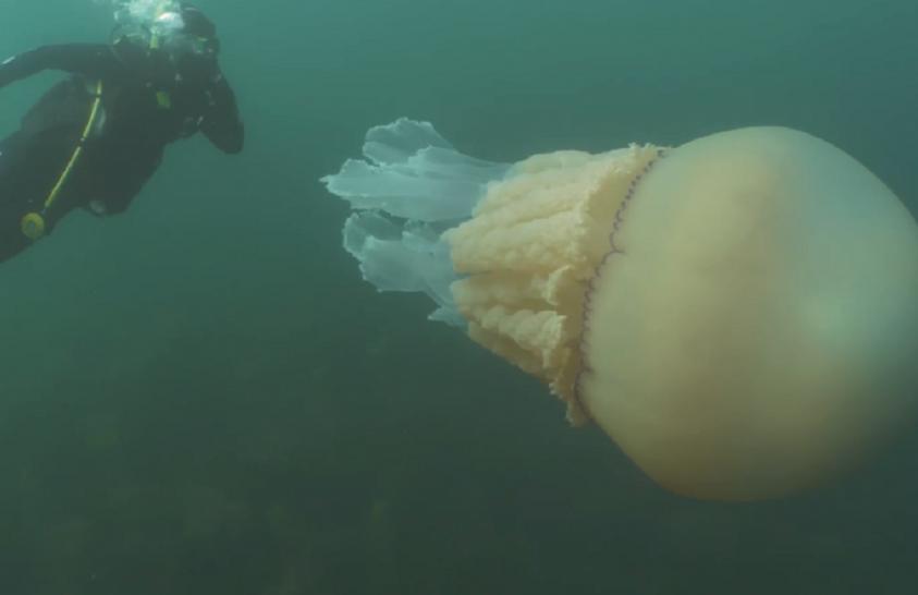 Ritka, gigantikus medúzát örökítettek meg