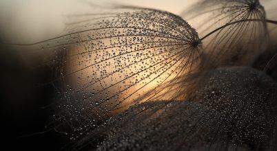 A nap képe: Bakszakáll a fényben