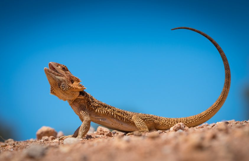 A nap képe: Tüskés sárkány