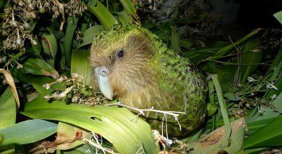 Hivatalosan 200 egyedre nőtt a kakapó állománya