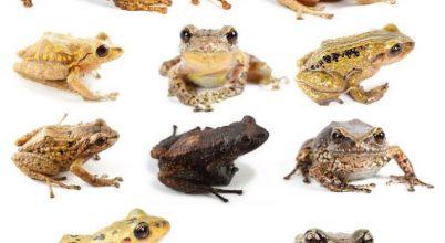 11 új békafajt fedeztek fel az Andok hegyei közt