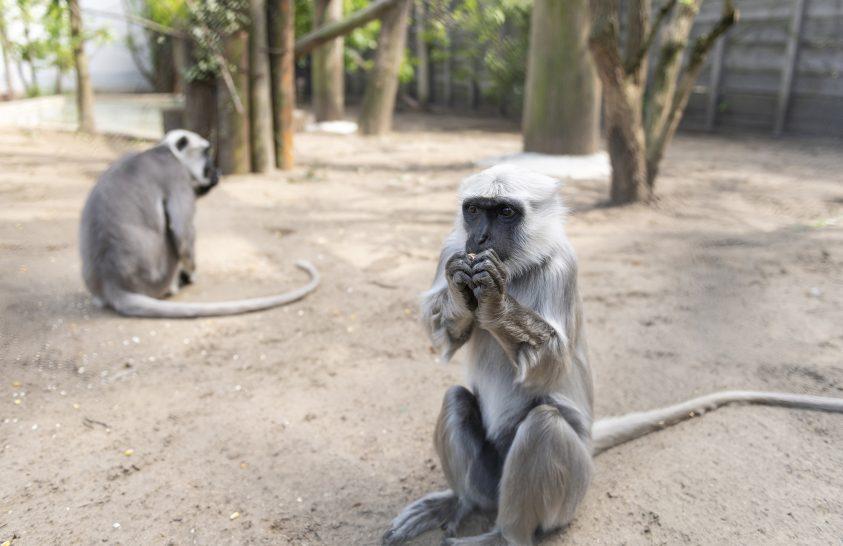 Hulmán nőstény érkezett a Nyíregyházi Állatparkba