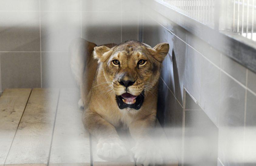 Végleges otthonukba költözhettek a cirkuszi oroszlánok