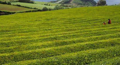 Kávé- és teaültetvények Európában? Igen, az Azori-szigeteken!