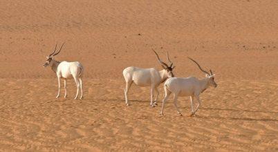 Kínai olajkutak veszélyeztetik a szaharai természetvédelmi területet