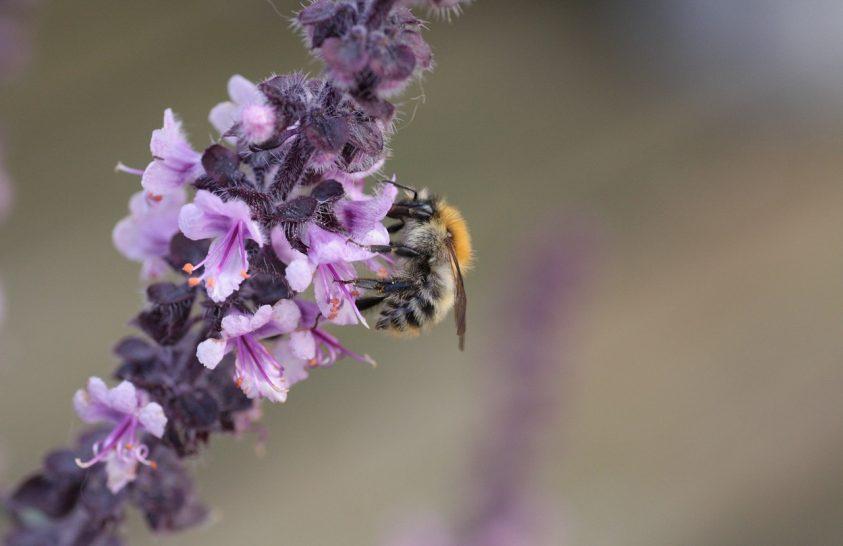 A méhlárvák nem számítanak növényevőknek