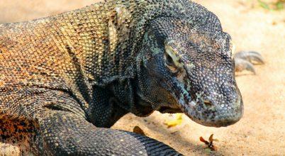 Feltárták a komodói sárkányok genomját