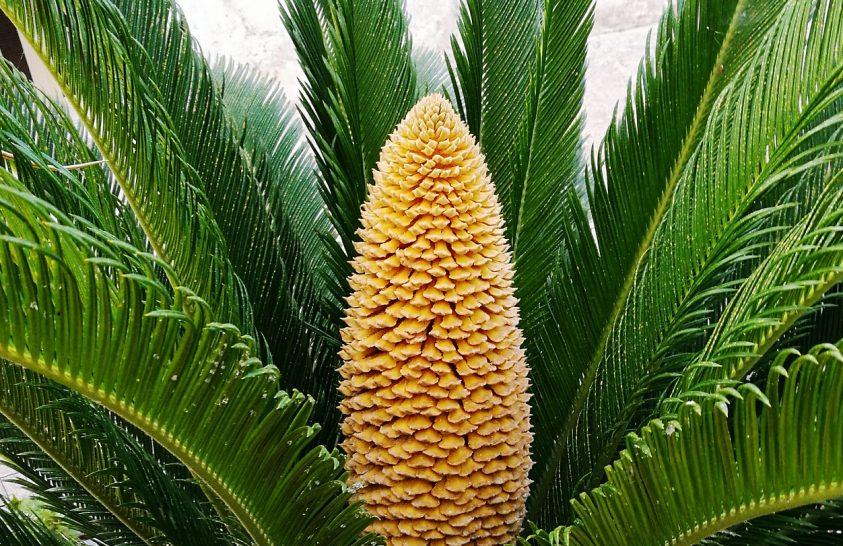 Trópusi növény virágzik Nagy-Britanniában