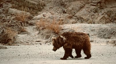Felmérték a góbi medvék populációját Mongóliában