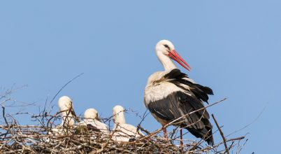 A gólyafiókák felnőttek és készülnek a hosszú útra
