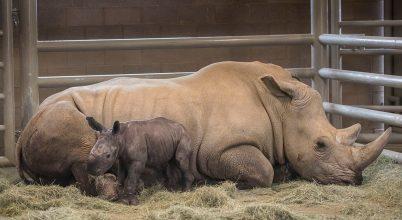 Mesterséges megtermékenyítéssel fogant déli szélesszájú orrszarvú született