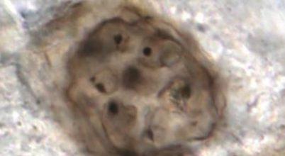 Egymilliárd éves megkövült sejteket vizsgáltak