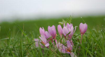 Virágzik az őszi kikerics