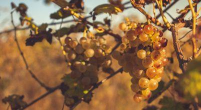 Őszi napsugarak a szőlőn