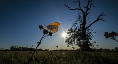 A nap képe: Szénalepke