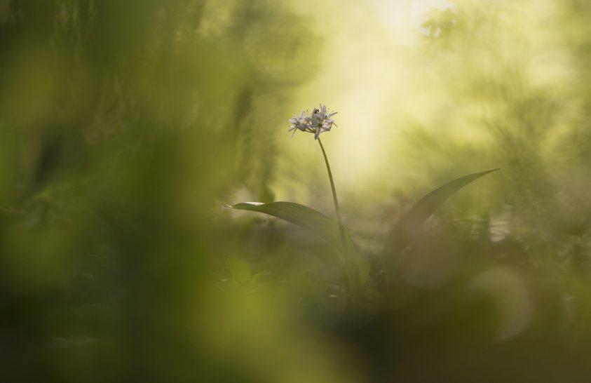 A nap képe: Medvehagyma