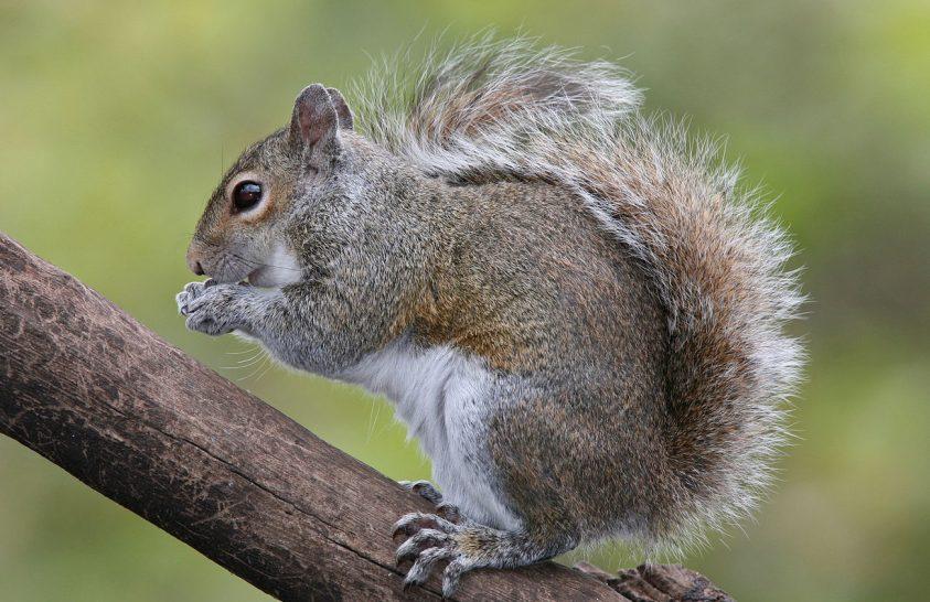 A mókusok a madarak hangjelzéseit figyelik