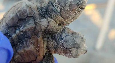 Két fejjel kelt ki a tojásból a teknős