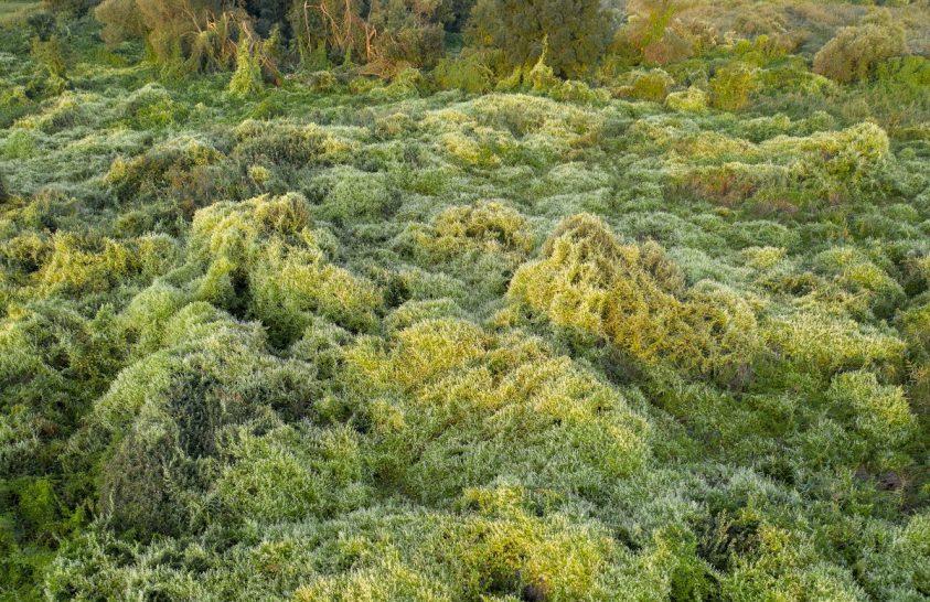 Nedves élőhelyek invazív kúszónövénye