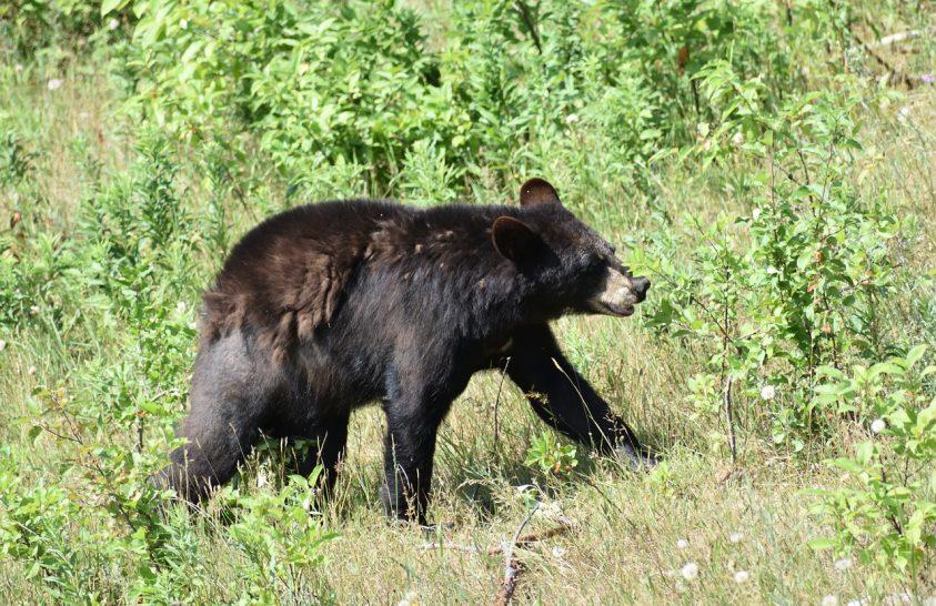 Kíváncsi medvék Alaszkában