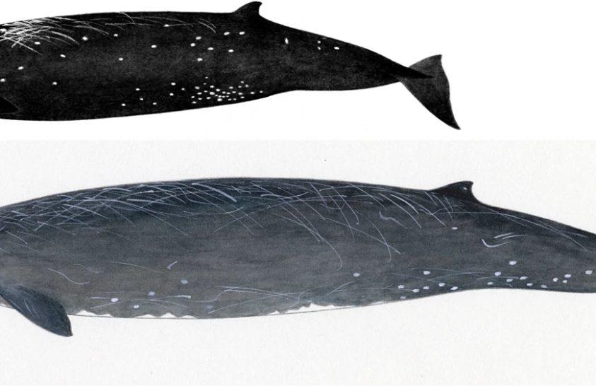 Új cetfajt fedeztek fel japán vizeken