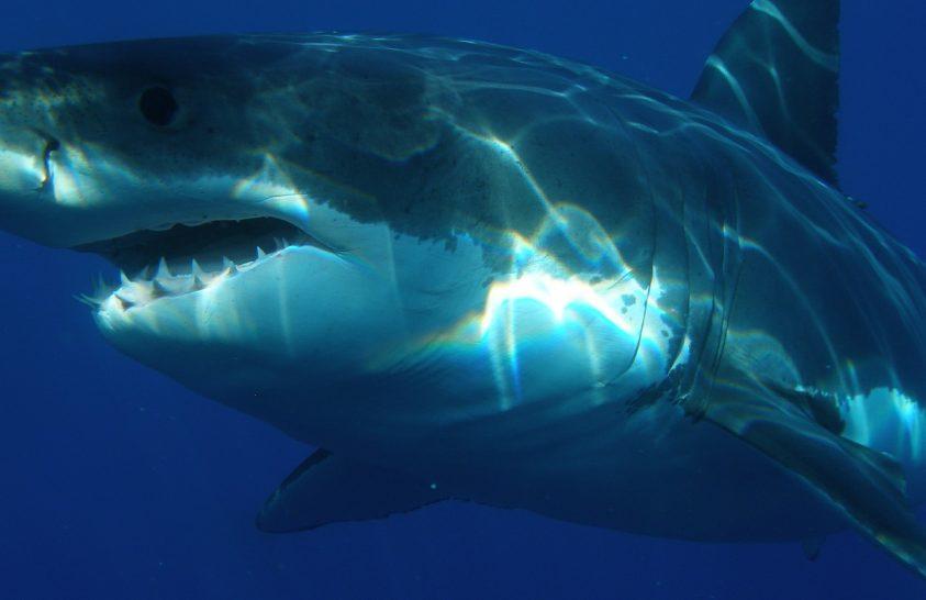 Nyomtalanul eltűnnek a dél-afrikai fehér cápák