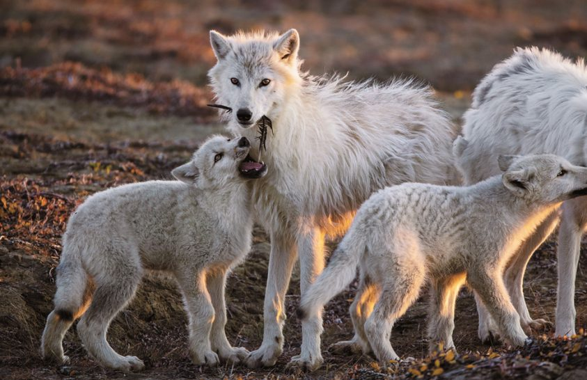 Idegen a farkasok között