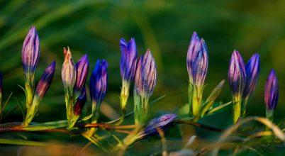 Egy ősszel virágzó védett növény: kornistárnics