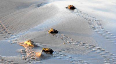Bébi teknősök megkövült lábnyomaira bukkantak