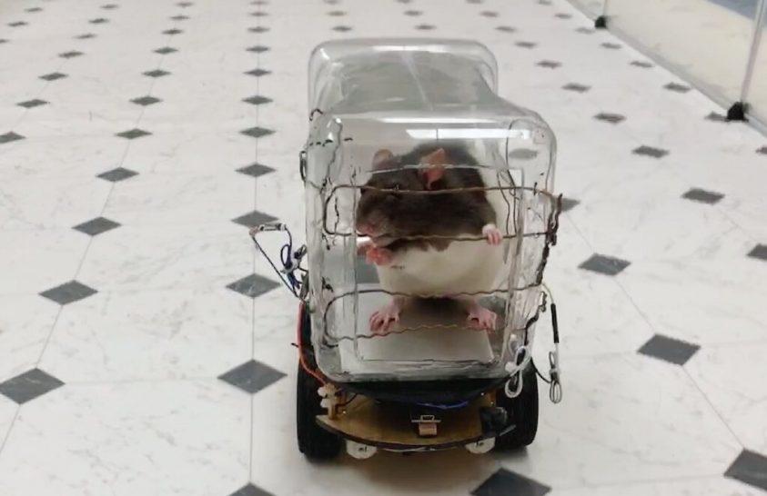 A patkányokat megnyugtatja az autóvezetés