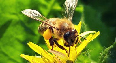 Dolgozó méh