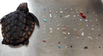 Több mint száz műanyagdarabot találtak az elpusztult teknősben
