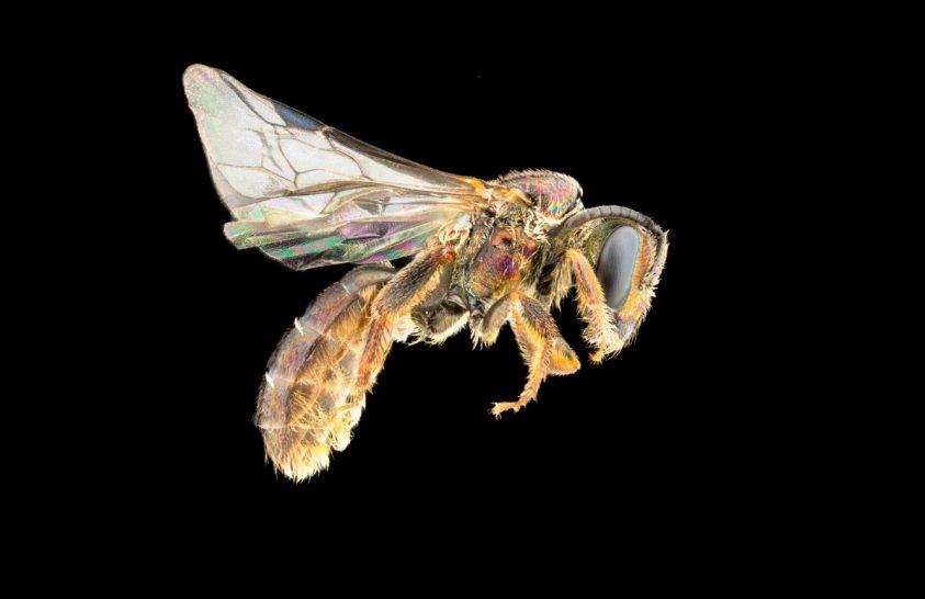 Az újonnan felfedezett méhfaj nevében hordozza a végzetét