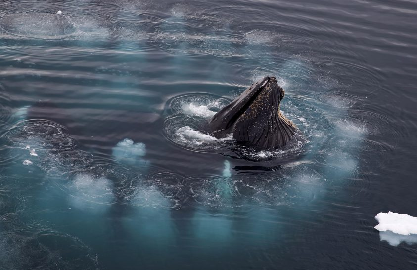 Lenyűgöző videón a bálnák buborékhálója