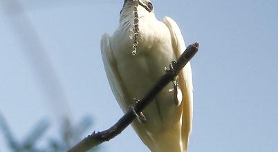 A világ leghangosabb madara