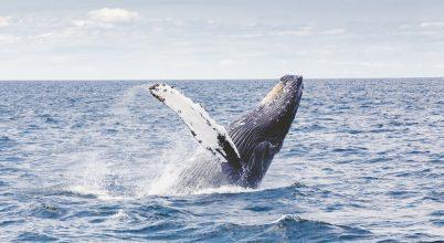 Hajó ütötte el a Temzébe keveredett bálnát