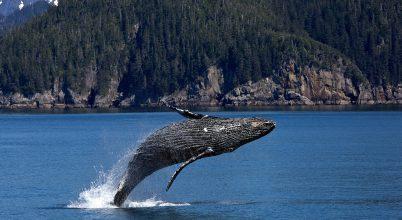 Úgy tűnik, megmenekültek a hosszúszárnyú bálnák