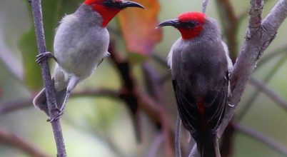 Új madárfajra bukkantak Indonéziában