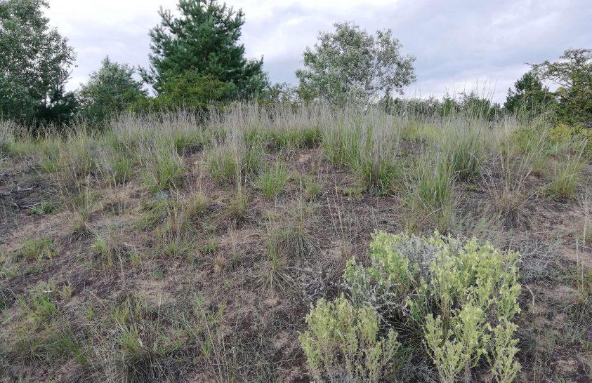 Eddig szinte ismeretlen inváziós fűfaj terjed Magyarországon